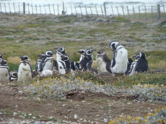 Pingüinos de Magallanes Punta Arenas