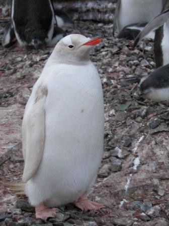 Pingüino albino Antártida