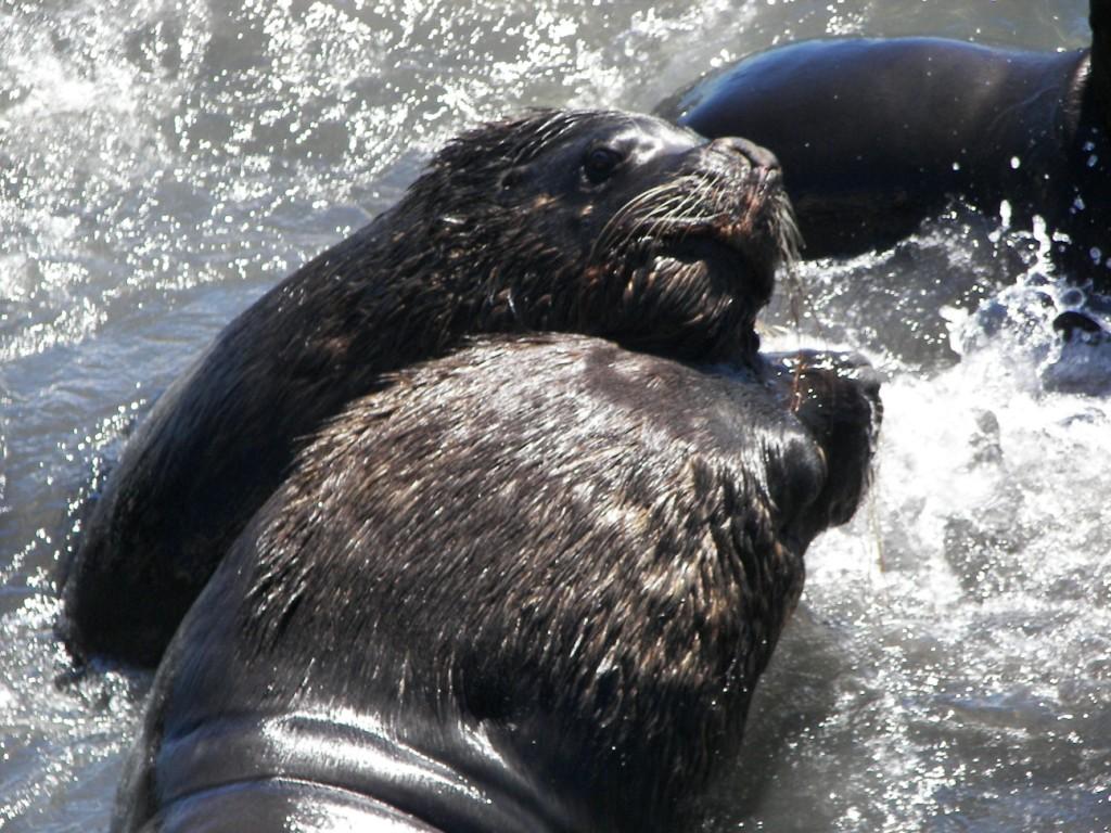 lobos marinos de un solo pelo