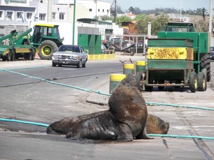 Lobos marinos calles Mar del Plata