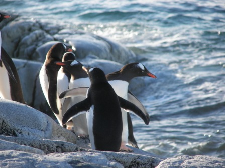 Pingüinos de Papua Antartida