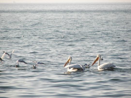 pelicano común