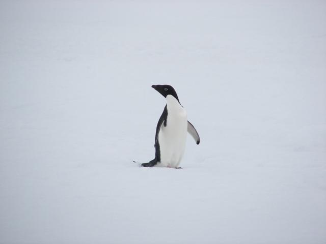 Adelia penguin