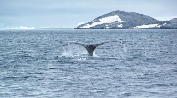 Aleta caudal ballena jorobada