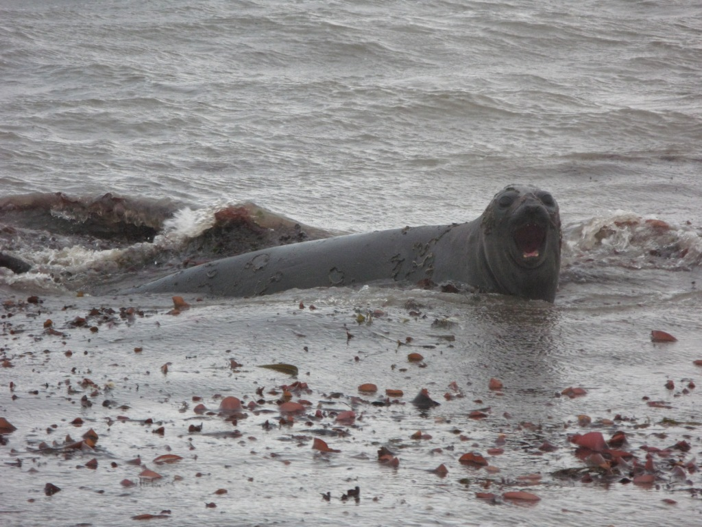 Elefante marino nadando