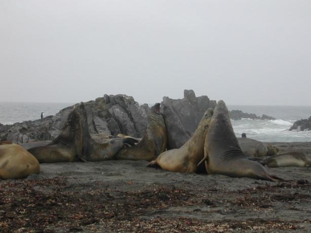 Elefantes marinos peleándose