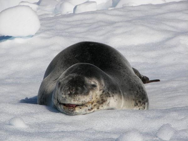 foca leopardo antártida