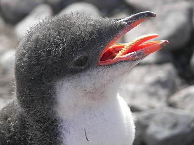 Pingüino cría
