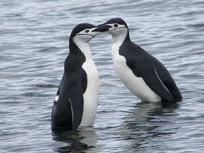 Pingüinos de Barbijo Foto: Miguel Ángel Otero Soliño