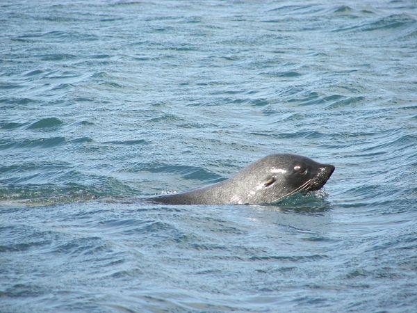 lobo marino antartida