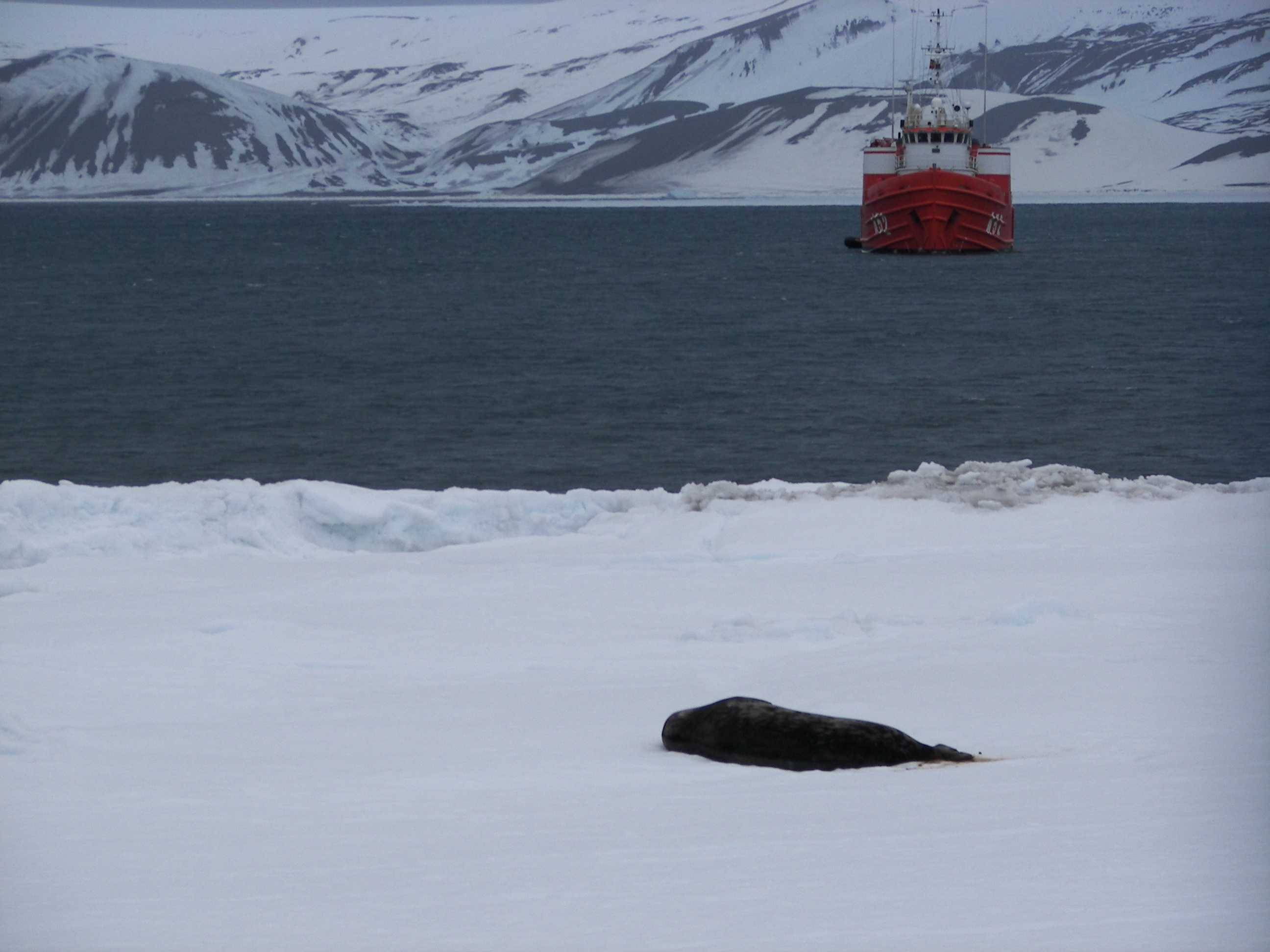 Foca antartica
