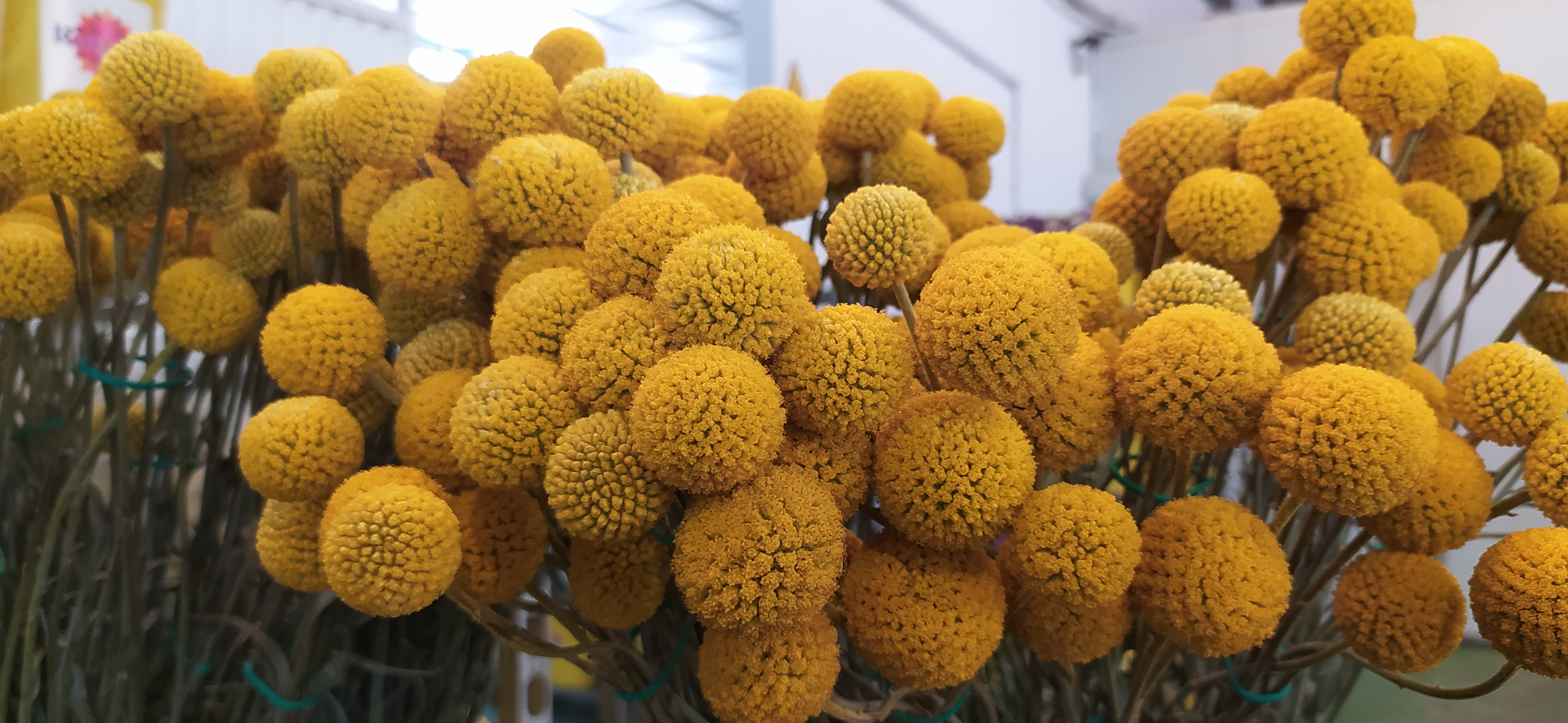 Flores de Chipiona
